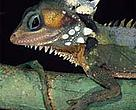 Found in Queensland, Australia, Boyd's forest dragon (<I>Hypsilurus boydii</I>) could lose about 90 per cent of its habitat by 2050 due to global warming, according to the <I>Nature</I> report.