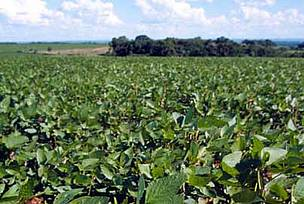 Soybeans; Paran, Brazil