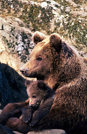 Brown bear (&lt;i&gt;Ursus arctos&lt;/i&gt;) female embracing and taking care of one of her cubs. / &copy;: Sanchez & Lope / WWF-Canon