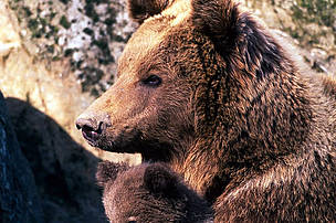 Brown bear (Ursus arctos) female embracing and taking care of one of her cubs.