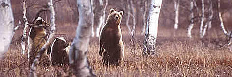 The endangered brown bear (&lt;i&gt;Ursusarctos&lt;/i&gt;) is found around the Prespa basin rel=