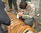A five-year-old male Tiger was freed from a poacher's snare on Sunday after it was found by WWF's Wildlife Protection Unit (WPU).