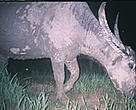 One of three wild buffaloes caught on film in the Srepok Wilderness Area in Cambodia.