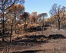 Burnt forest areas, such as the Massif des Maures in the south of France, will need careful management to recover.<BR>
