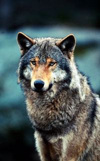 Grey wolf (&lt;i&gt;Canis lupus&lt;/i&gt;). / &copy;: WWF-Canon / Chris Martin BAHR