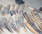 Ivory discovered hidden in truck transporting cocoa.