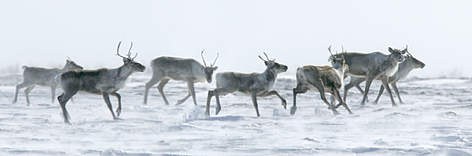 Barren-ground caribou (Rangifer tarandus). rel=