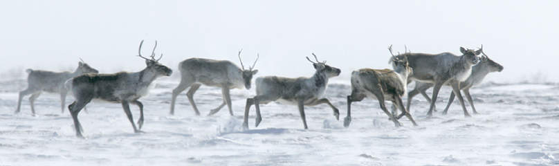 Barren-ground caribou (Rangifer tarandus). / &copy;: Peter EWINS / WWF-Canada