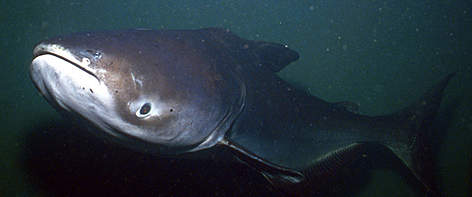 Mekong River's giant catfish (Pangasianodon gigas) rel=