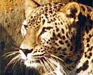 Caucasus leopard (&lt;I&gt;Panthera pardus ciscaucasica&lt;/I&gt;.