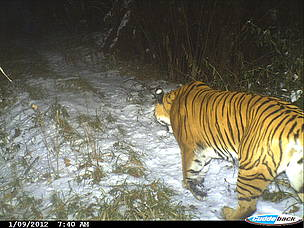 Tiger captured on camera traps in Trongsa, 2012