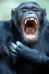 Chimpanzee (<i>Pan troglodytes</i>) yawning, aggressive display. / ©: WWF-Canon / Michel GUNTHER