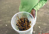Delicacy! Fried snails sell well on the streets of the area. / ©: WWF-Canon / WWF-CARPO / Peter Ngea