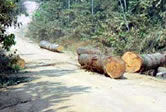 Reckless timber exploitation. / ©: WWF-Canon / WWF-CARPO / Peter Ngea