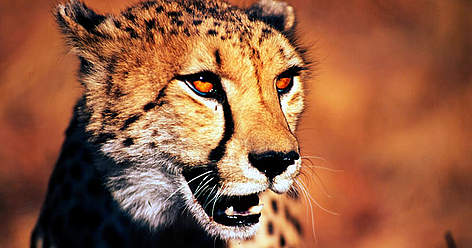 Cheetah (&lt;i&gt;Acinonyx jubatus&lt;/i&gt;), Republic Of South Africa. rel=