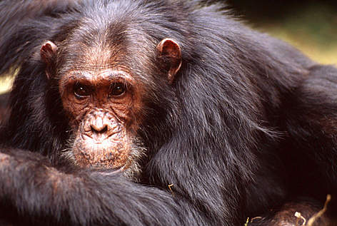 WWF African Great Apes Programme