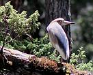 The Chinese Pond Heron sighted in BWS