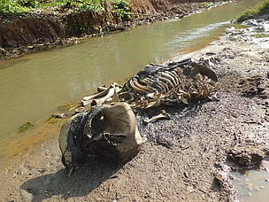 Cameroon Elephant Carcass Poaching