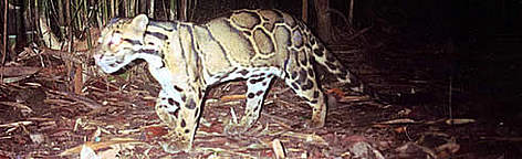 Clouded leopard captured by a photo-trap rel=