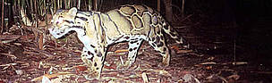 Clouded leopard captured by a photo-trap / ©: WWF-Canon