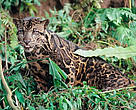 Bornean clouded leopard. Kalimantan and Sumatra, Indonesia.