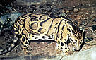 Clouded leopard (&lt;i&gt;Neofelis nebulosa&lt;/i&gt;). / &copy;: WWF-Canon / Gerald S. CUBITT