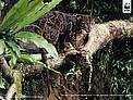 Bornean clouded leopard (neofelis diardi) in a tree, Kalimantan (Indonesian Borneo), Indonesia. / &copy;: Alain Compost / WWF-Canon