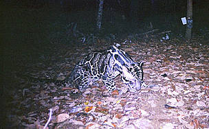 Clouded leopard  / &copy;: WWF / Indonesian Forest Protection and Nature Conservation / Virginia Tech