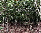 A typical cocoa farm in the Guinean Moist Forest Zone of West Africa