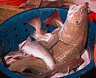 Cod in bucket on deep-sea trawler, North Atlantic Ocean.
