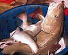 The EU's cod fisheries are losing money already and could collapse entirely.<BR>