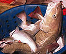 Cod catch on the deck of a deep sea fishing trawler.