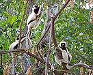 Coquerel Sifaka (Propithecus verreauxi coquereli): one of the lemur species of Madagascar. Picture taken in Parc National d'Ankarafantsika