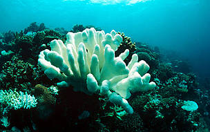 Coral bleaching due to temperature rise, Indo-Pacific Ocean. / ©: WWF-Canon / Jürgen FREUND