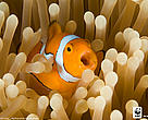 Clown Anemonefish (Amphiprion percula), New Britain, Papua New Guinea, Coral Triangle.