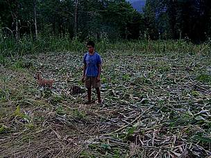 Maize fields in Sarpang destroyed by Elephants