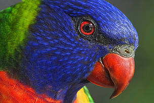 Rainbow lorikeet, Australia. / &copy;: Leslie Leong