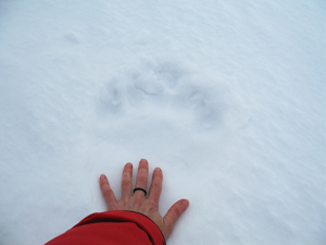 A polar bear's pawprint in the snow relative to a human hand. / ©: Julia Langer / WWF