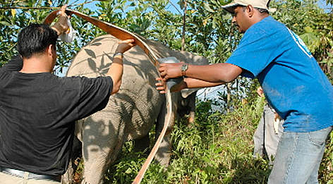 Dr Christy Williams of WWF putting a radio collar on a Bornean Pygmy elephant (<i>Elephas ... rel=