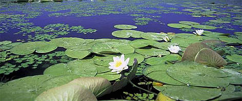White water lily. Danube River Delta, Ukraine. rel=