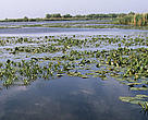 Aquatic vegetation on the Danube, Danube Delta, Romania.