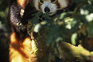 Red Panda, one of the priority species WWF Nepal helps protect.