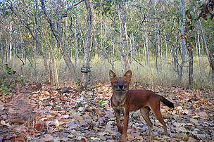 Dhole in camera trap image