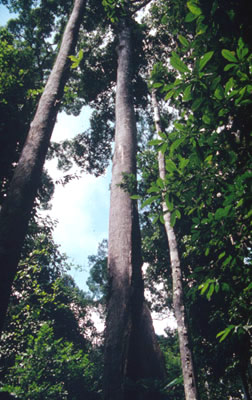 Large Dipterocarpaceae tree, a popular timber species. / &copy;: WWF-Canon / Sylvia Jane YORATH