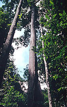 Large Dipterocarpaceae tree, a popular timber species. / ©: WWF-Canon / Sylvia Jane YORATH
