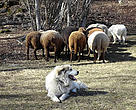 Guard dogs are being trained to protect livestock from fox, raven and  wolves. There is also some evidence that they have scared bears away too. Ticino, Switzerland.