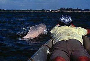 Man on the bow of the ship with pink dolphin breaking the surface in front of him.