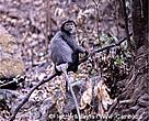 An adult Black-shanked douc langur photographed in Mondulkiri Protected Forest.
