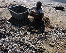 Young boy searching from the large amount of small fish left on the beach by Bazaruto Fishermen.
