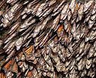 "Detalle de ""cluster"" de mariposa Monarca"